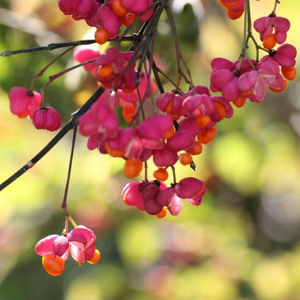 Die Pfaffenhütchen bieten Nahrung für Vögel im Herbst.