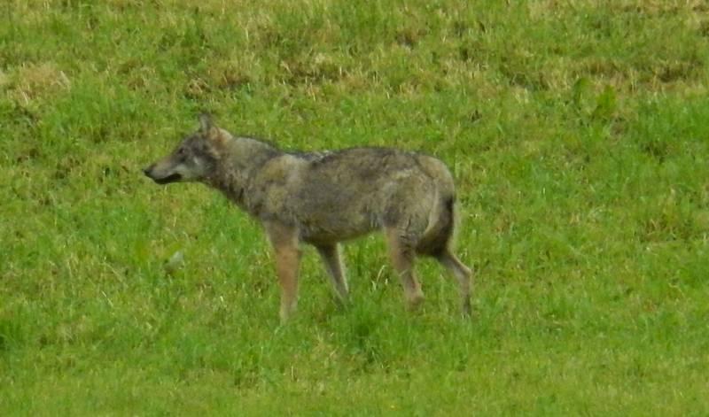 Wolf, der in Horgen gesehen wurde.