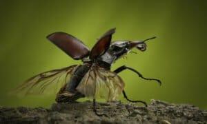 Der gefährdete Hirschkäfer ist ein auffälliges, interessantes Insekt. © Obra Social Caja Cantabria [CC BY 4.0], via flickr