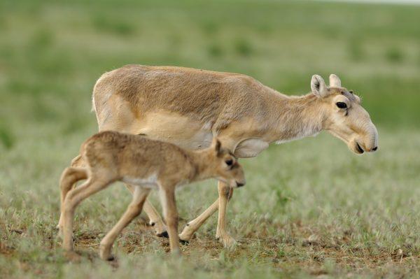 Todesrate bei den Jungtieren, die kontaminierte Milch tranken, lag bei 100%. © U.S. Fish and Wildlife Service Headquarters [CC-BY-SA-2.0], via pixabay.com