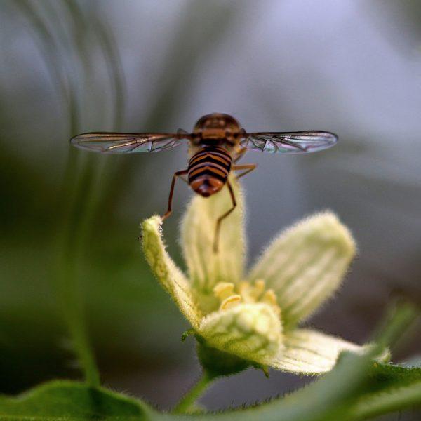 Die Schwebefliege hebt gleich ab - von einer Zaunrübenblüte. © Christine Dobler Gross