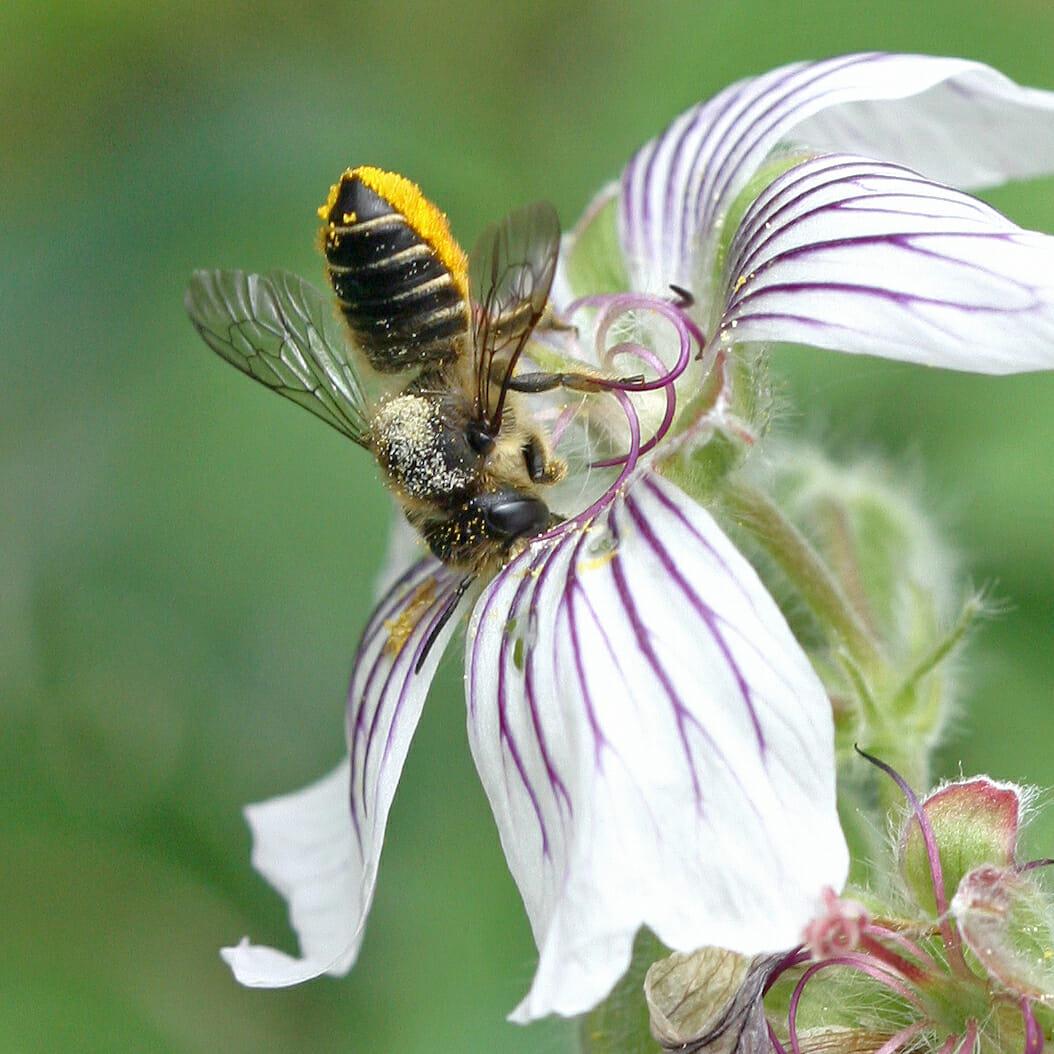 Blattschneiderbiene in einer Blüte.