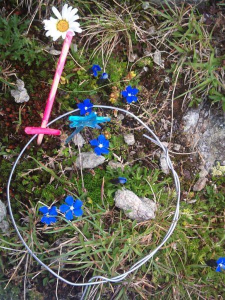 Der Bayrische Enzian (Gentiana bavarica) kommt haupt-sächlich an Stellen mit organischem Boden vor und ist von mehreren Gipfeln verschwunden – möglicherweise wegen der Konkurrenz durch grössere Arten wie das Alpenrispengras (Poa alpina). © SLF