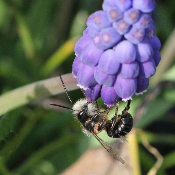 Mauerbiene an Traubenhyazinthe.