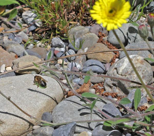Eine Blattschneiderbiene sitzt auf einem Blatt am Boden.