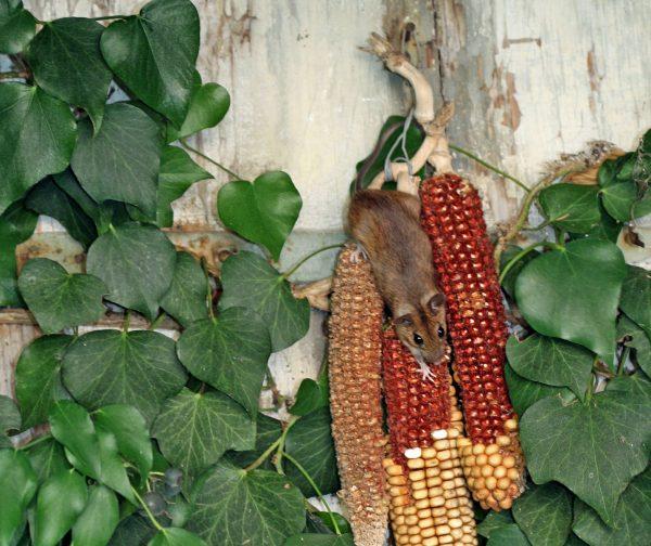 Eine Waldmaus knabbert an Maiskolben.