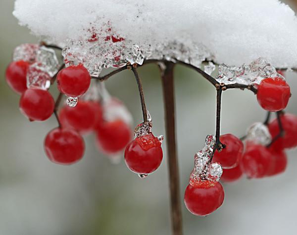 Rote Beeren mit einer leichten Schneeschicht bedeckt.