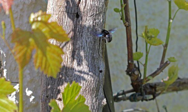 Eine blaue Holzbiene.