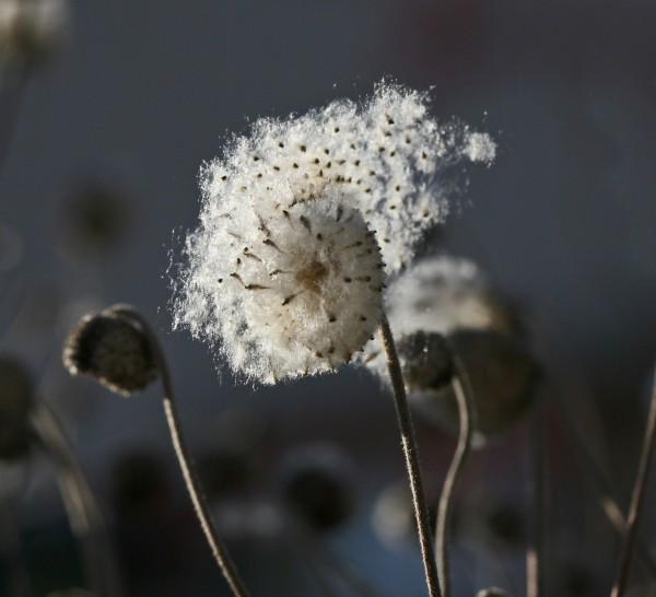 Die Samen einer Blüte wehen davon.