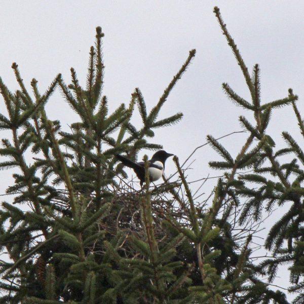 Ein Nest mit einer Elster darin.