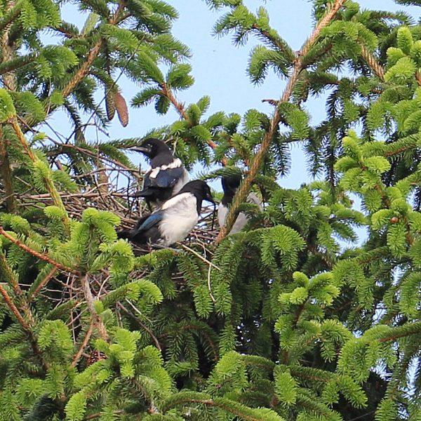 Zwei Elstern sitzen in einem Nest.
