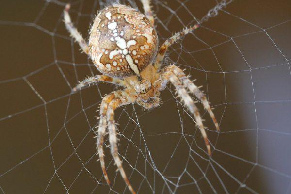 Eine Garten-Kreuzspinne in ihrem Netz.