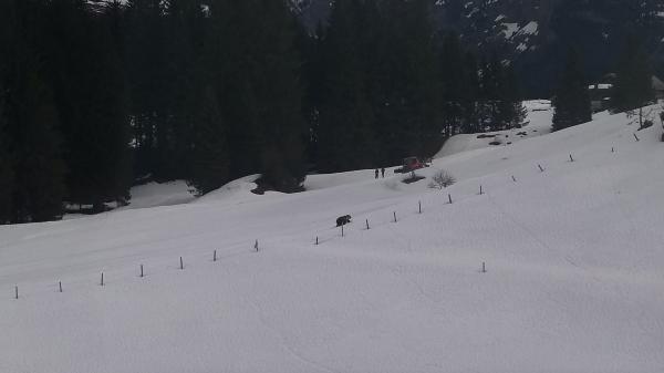 Das Bild zeigt den Bär im Engelbergertal neben Pistenpersonal. © Kantonspolizei Nidwalden