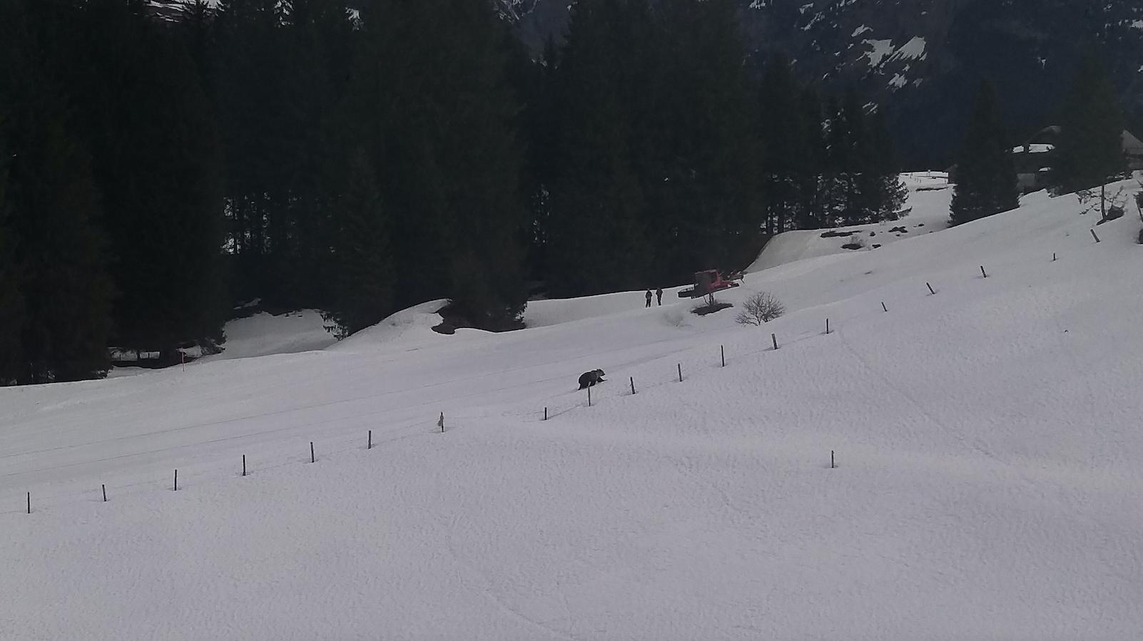 Bär in Engelberg entdeckt.