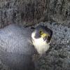 Etwas misstrauisch guckt dieser Wanderfalke in die Kamera. Webcam-Übertragungen stören die Tiere aber zum Glück nicht und erlauben uns einen einzigartigen Einblick ins Brutgeschehen. © LBV