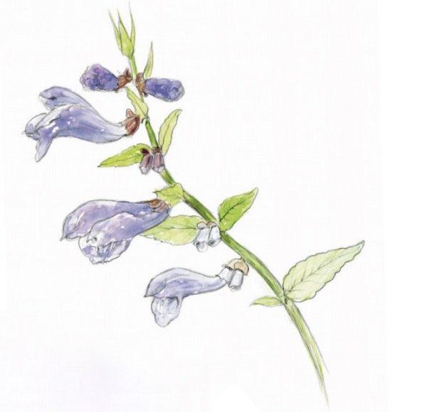 Das Sumpf-Helmkraut Scutellaria galericulata L.