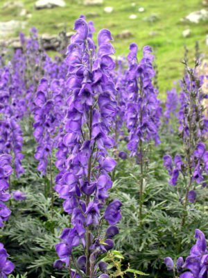 Der Blaue Eisenhut (Aconitum napellus). | © Joan Simon [CC-BY-SA-2.0], via flickr.com