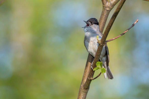 Die Mönchsgrasmücke mit ihrem melodiösen und kräftigen Gesang ist regelmässig in Stadtparks und in naturnahen Gärten zu hören. Foto © Marcel Burkhardt
