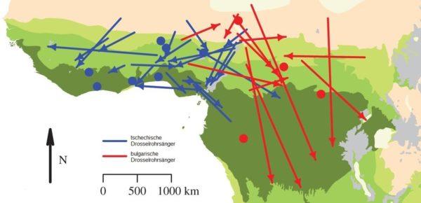Die Karte zeigt die winterlichen Zugrouten des Zugvogels Drosselrohrsänger.