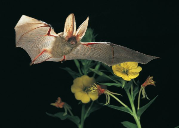 Pflanzen, die nachts blühen, wie die Nachtkerze, locken Insekten an und bieten Fledermäusen damit ein reiches Buffet. © Dietmar Nill, NABU