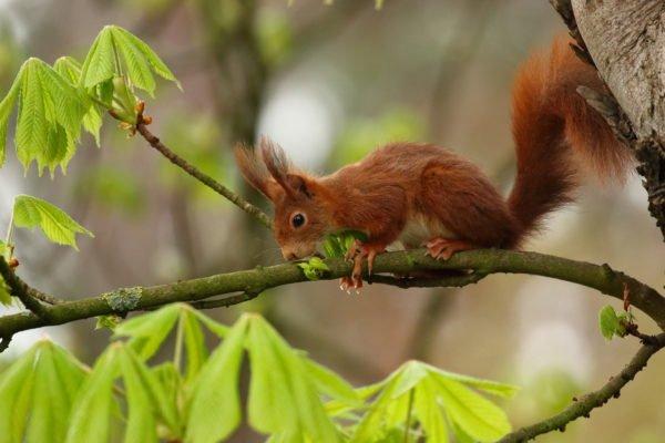 Eichhörnchen mit fuchsroter Fellfärbung. © Marcus Bohler / wildenachbarn.ch