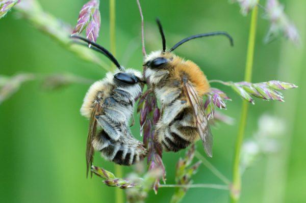 Zu sehen ist das Leben der Wildbienen im Film «Biene Majas wilde Schwestern».© Naturmuseum St.Gallen / Biene Majas wilde Schwestern
