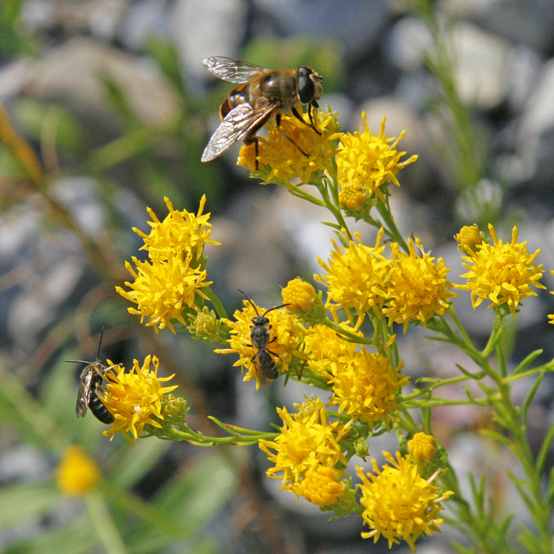 Eine Schwebfliege auf Wildpflanze.