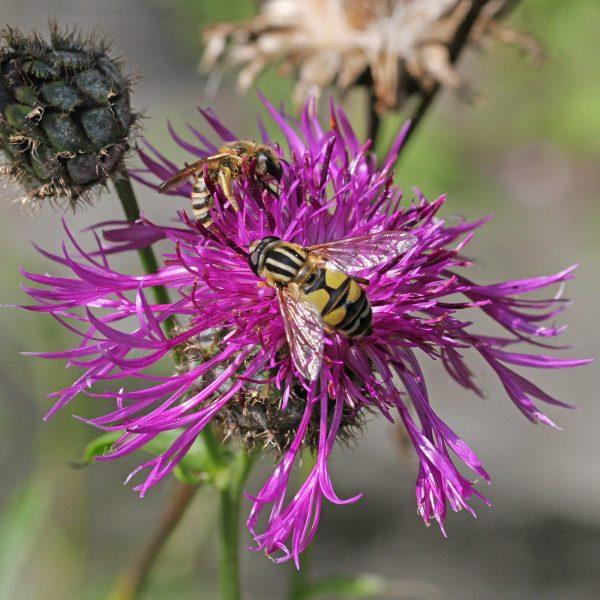 Auf der Flockenblume tummeln sich gerne Insekten.