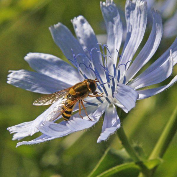 Schwebfliege auf einer Blüte.