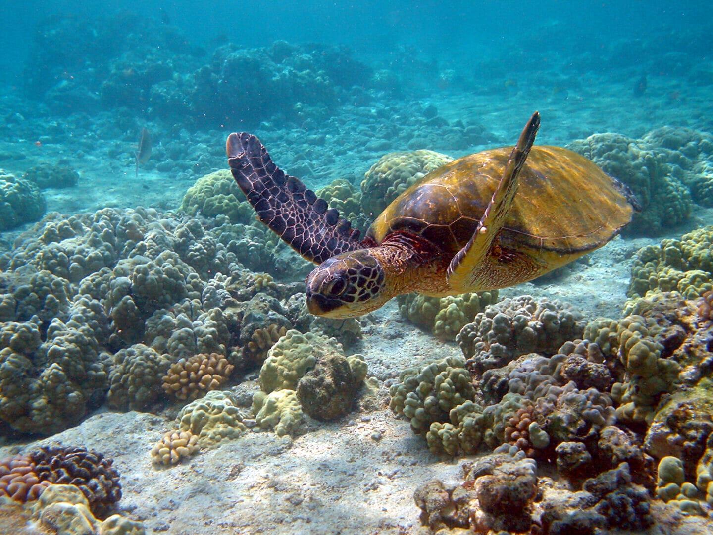 Eine Meeresschildkröte schwimmt durch eine Licht durchtränkte Küstenregion eines Meeres.