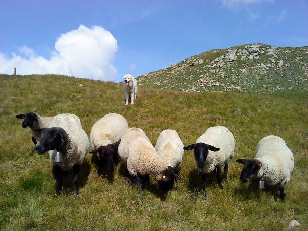 Herdenschutzhunde bewachen Schafe auf der Alp. Mit den Tipps in diesem Artikel vermeiden Sie Konflikte mit den Herdenschutzhunden. © François Meyer / AGRIDEA