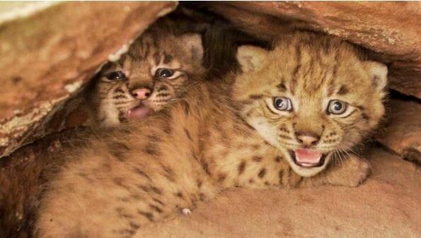 Der erste Luchs-Nachwuchs im Pfälzerwald: Zwei Jungtiere kamen vor rund vier Wochen im zur Welt. | © SNU RLP / Alexander Sommer