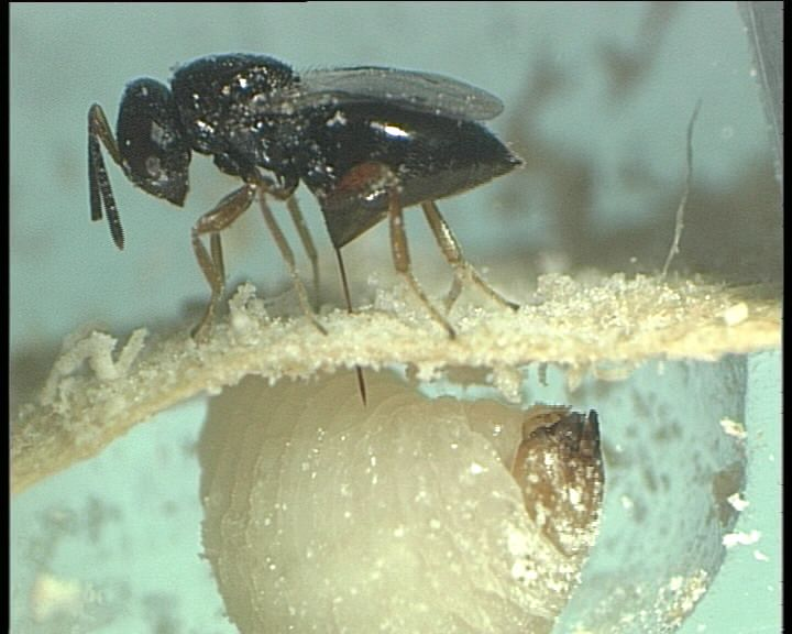 Eine Lagererzwespe legt ihr Ei auf der Larve des Kornkäfers ab.