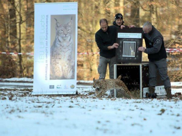 Luchsin wird im Pfälzerwald freigesetzt