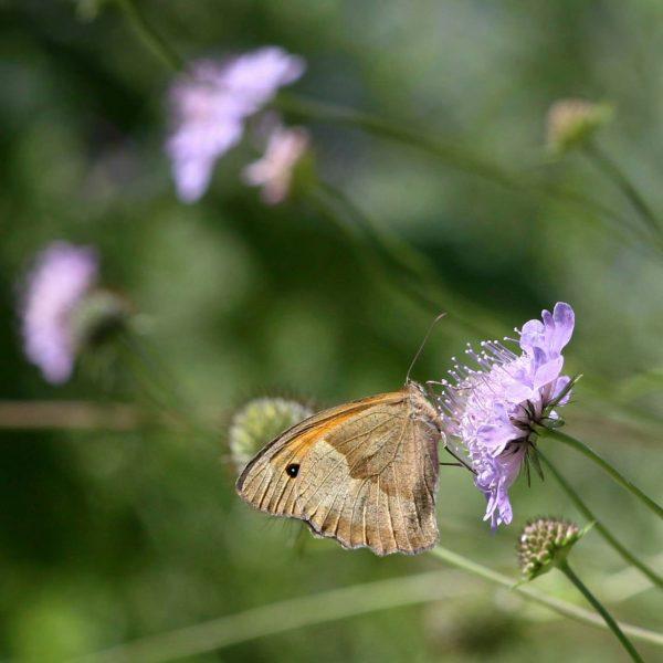 Der Schmetterling Ochsenauge auf einer Blüte.