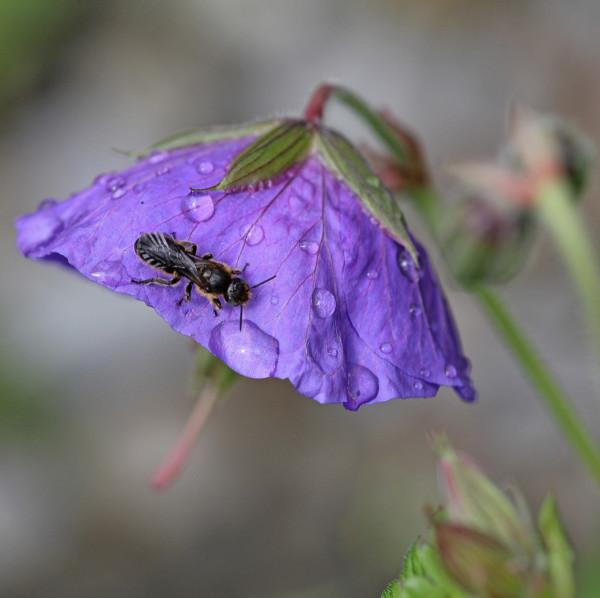 SCherenbiene auf Glockenblume.