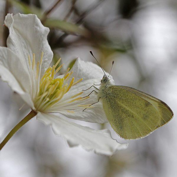 Ein Kohlweissling auf einer weissen Clematisblüte.