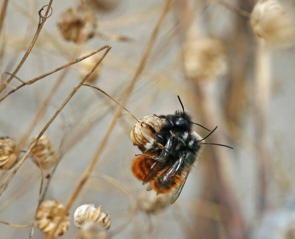 Mauerbienen bei der Paarung.