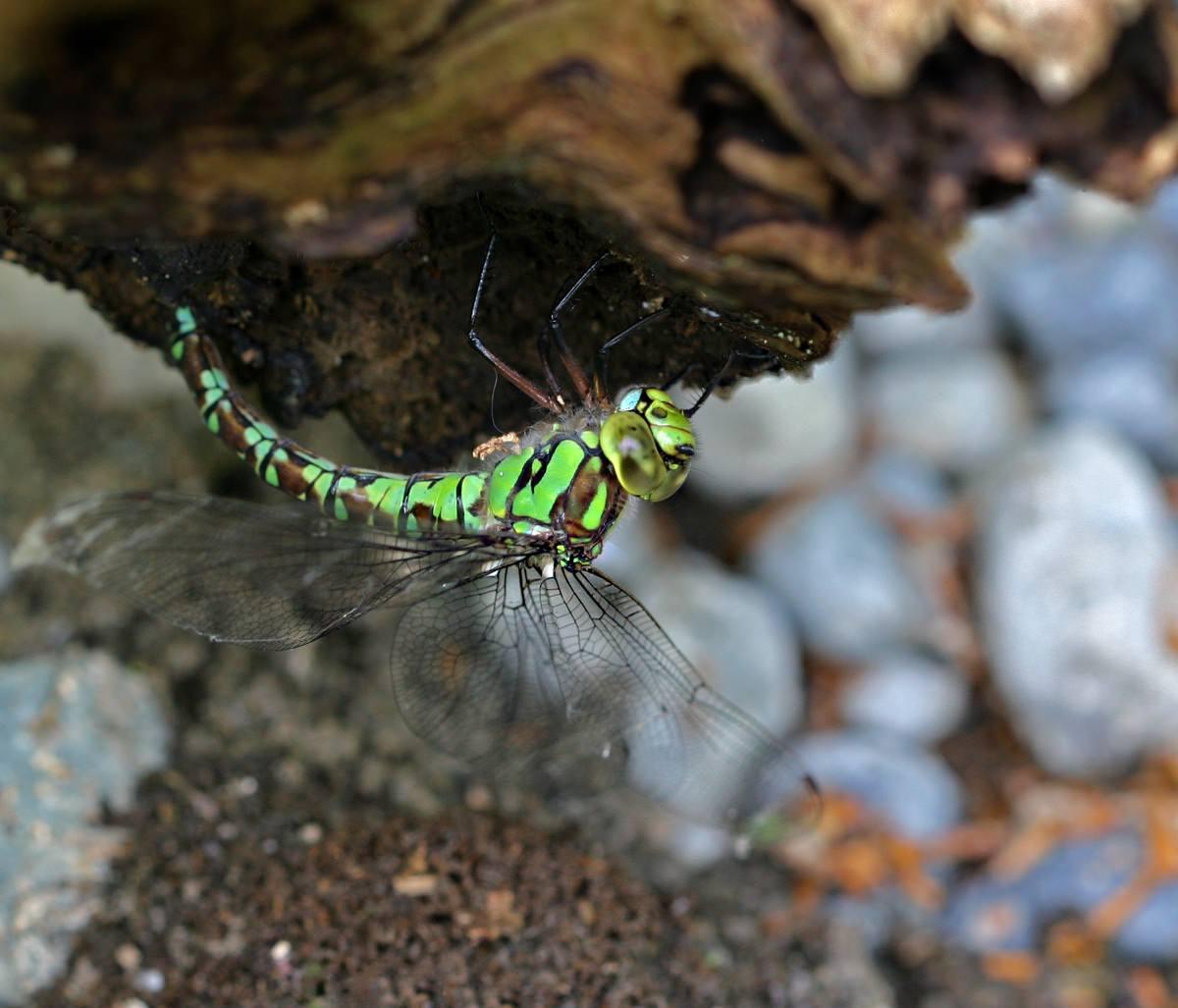 Eine Libelle, Blaugrüne Mosaikjungfer, auf Totholz.