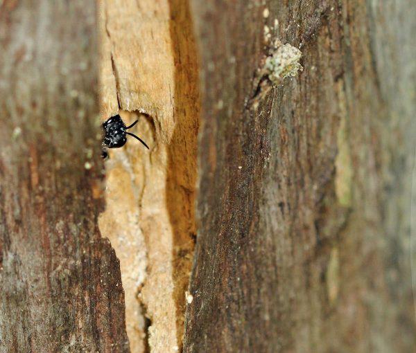 Eine Grabwespe, Pemphredon spec. im Totholz.