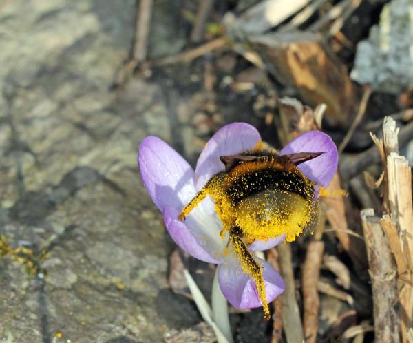 Hummelkönigin kopfüber in Blume und voll von Pollen.