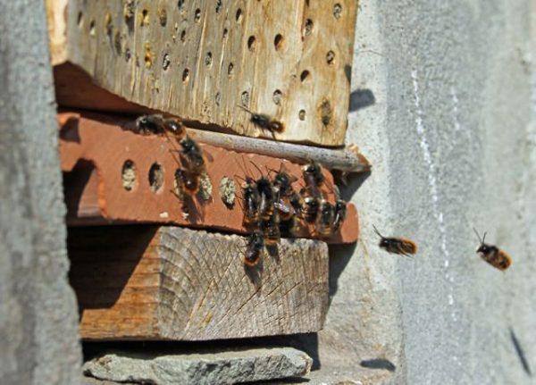 Die Mauerbienen-Männchen (Osmia cornuta) sind wieder aktiv.