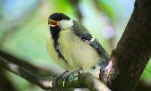 Vogel sitzt auf Ast und pfeift.
