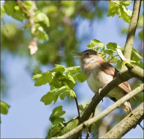 Nachtigall (Luscinia_megarhynchos) Vogel