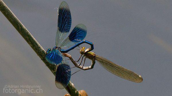 Prachtlibellen bei der Paarung © Adrian Hirsbrunner