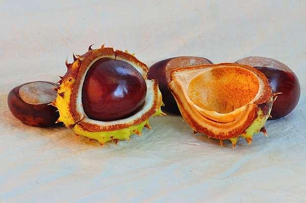 Quiz - Bäume und ihre Früchte 3
