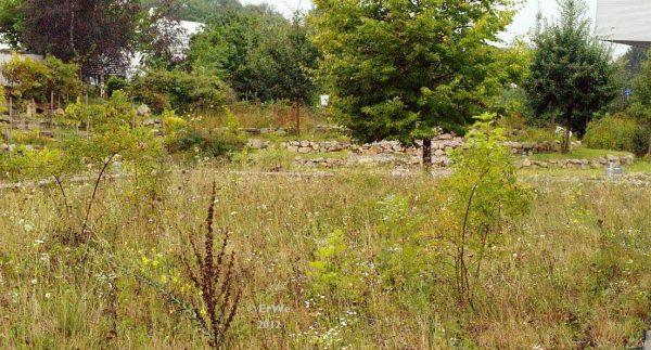 Ruderalflächen sind wertvolle Lebensräume, die zahlreiche Pflanzen- und Tierartenbeherbergen. Zudem ermöglichen sie die Kolonisation von sogenannten Pionierpflanzenarten.| © Klasse im Garten [CC-BY-SA-2.0], via flickr.com