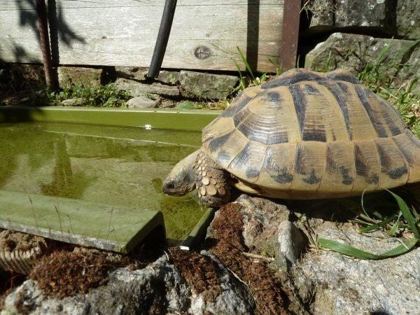 Auch Schildkröten aus Trockengebieten müssen stets sauberes Wasser zur Verfügung haben. Viele Schildkröten werden falsch gehalten oder ins Tierheim abgegeben. © Claudia Mertens, Zürcher Tierschutz