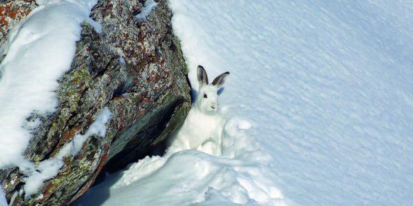 Der Klimawandel treibt den Schneehasen in die Höhe. © Rolf Giger