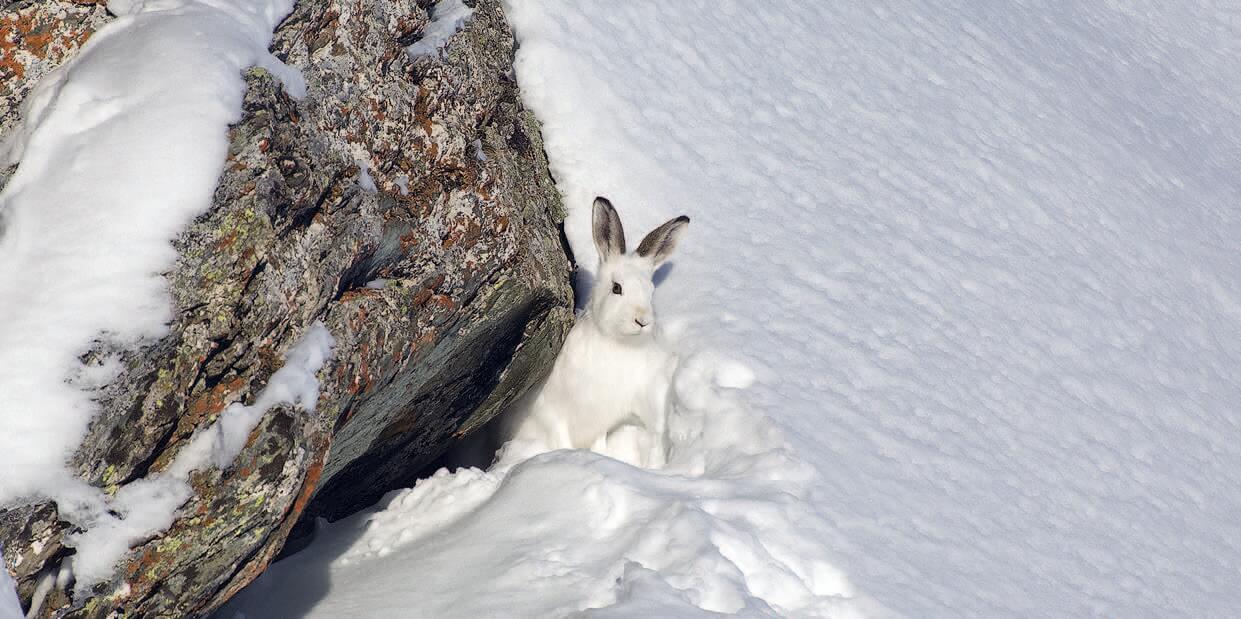 Schneehasen kommen wegen dem Klimawandel häufiger in der Höhe vor.